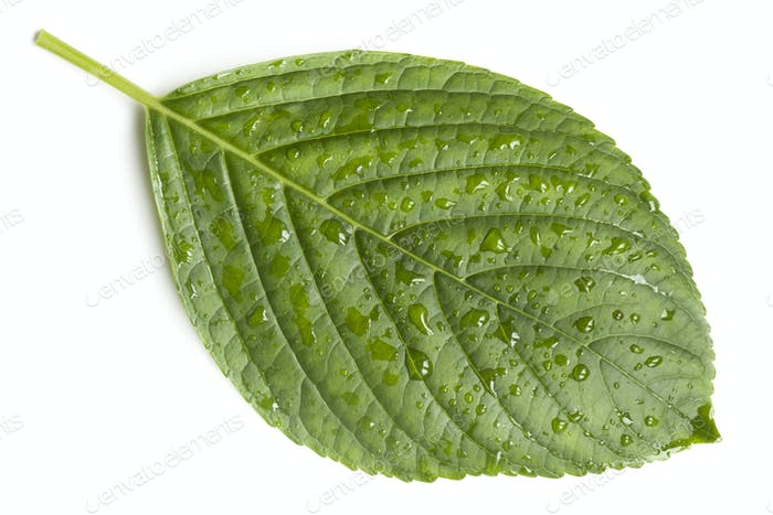 Hydrangea Leaf with Raindrops Isolated on White Top View