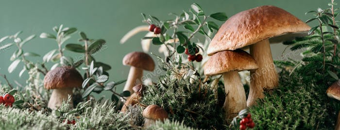 Brown boletus edulis mushroom growing in autumn green moss with red lingonberry, green grass. Autumn