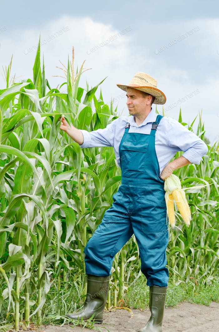 Middle age Farmer inspecting maize at field