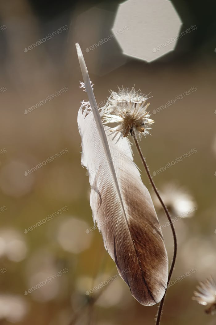The feather and wilted dandelion among morning light