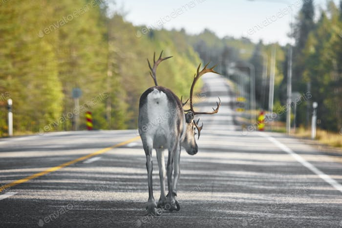 Reindeer crossing a road in Finland. Finnish landscape. Travel background