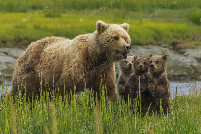 Brown bear sow and cubs, Lake Clark National Park, Alaska, USA