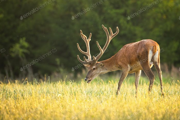 Majestic red deer stag with large antlers in velvet grazing on grass in summer
