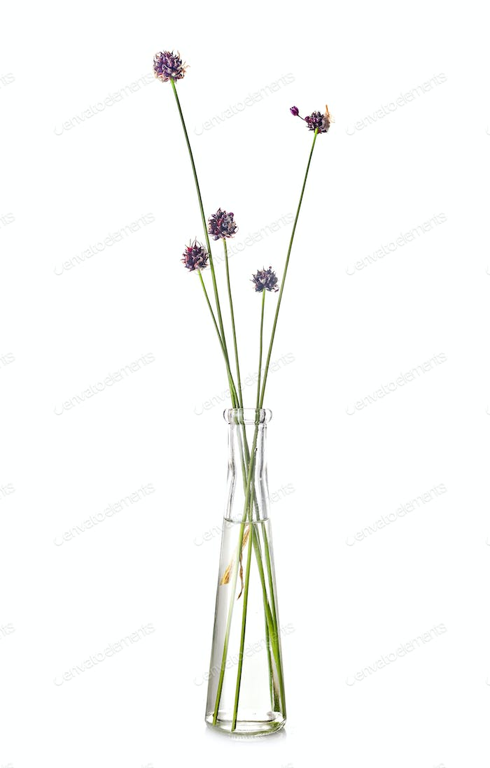 Allium ursinum in test tube