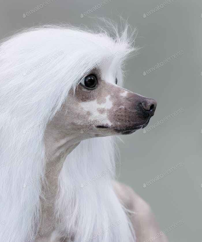 Chinese Crested Dog Breed.