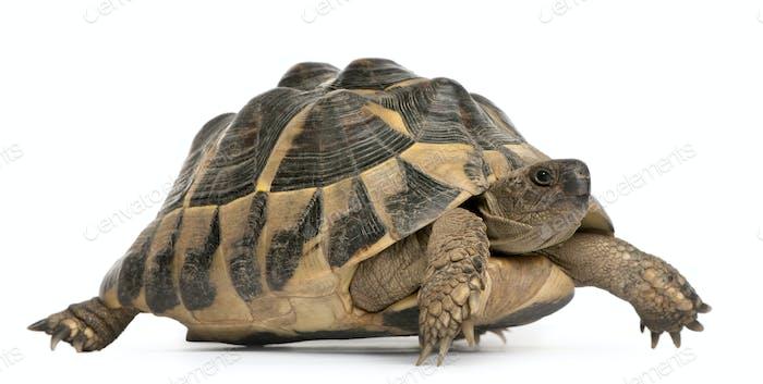 Hermanns Schildkröte, Testudo hermanni, vor weißem Hintergrund