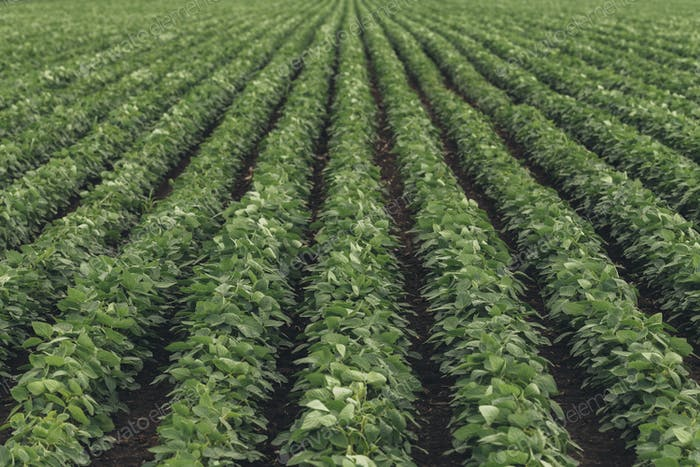 Rows of cultivated soybean crops in diminishing perspective