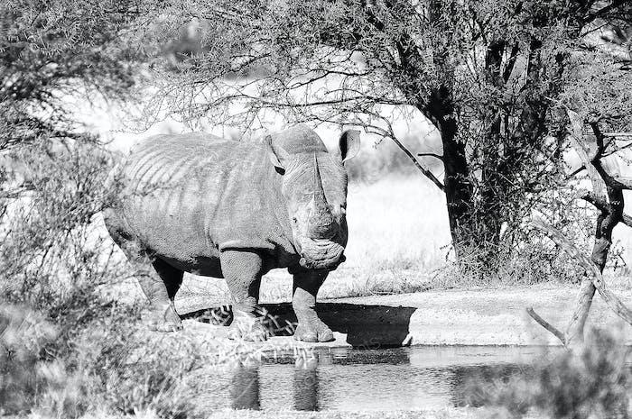 Rinoceronte blanco monocromo en el agujero de agua