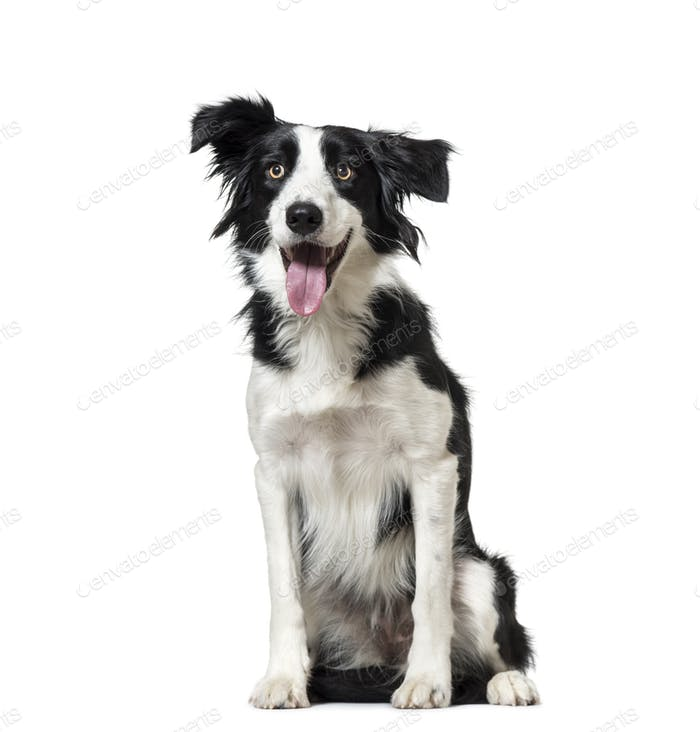 Panting Border Collie dog sitting, cut out