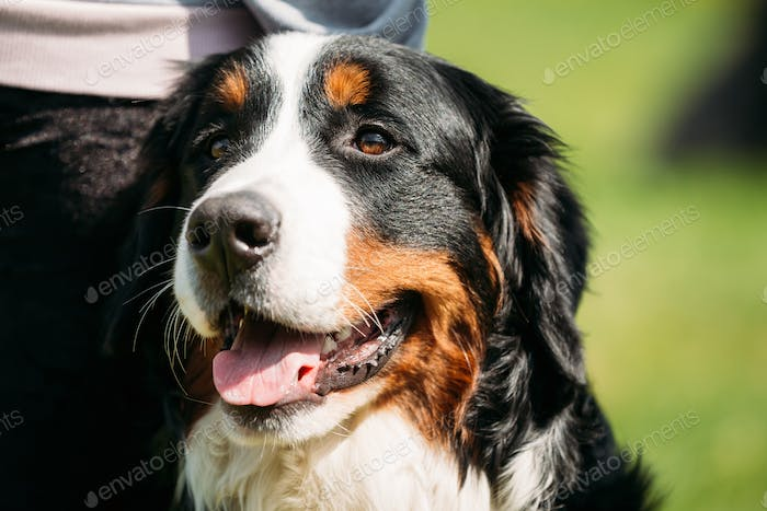 Bernese Mountain Dog Berner Sennenhund Close Up