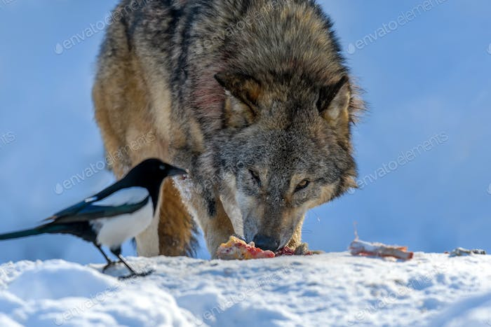 Gray wolf, Canis lupus, eat meat in the winter forest.