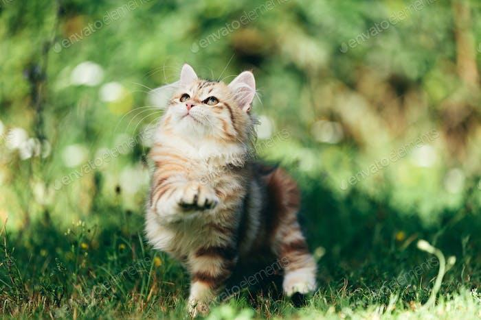 A kitten - Siberian cat playing in grass
