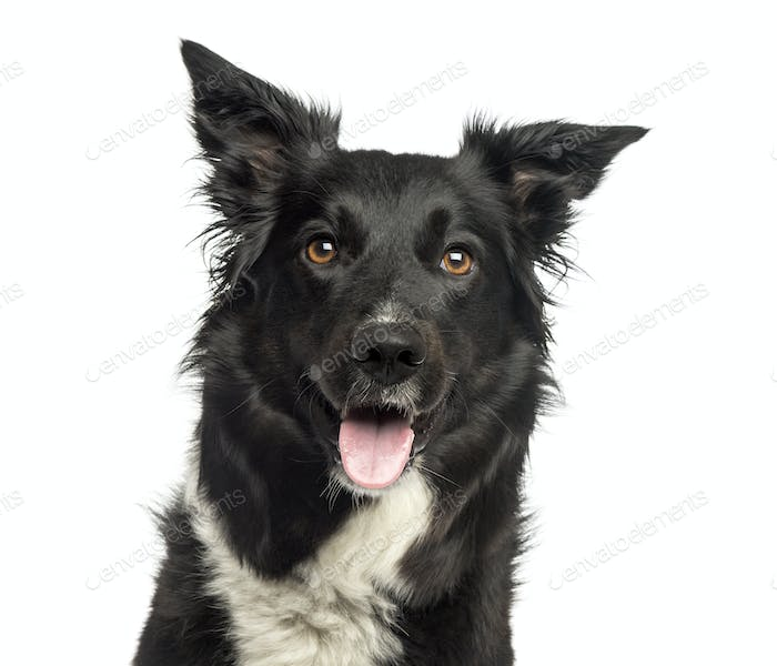 Border collie panting, looking away, isolated on white