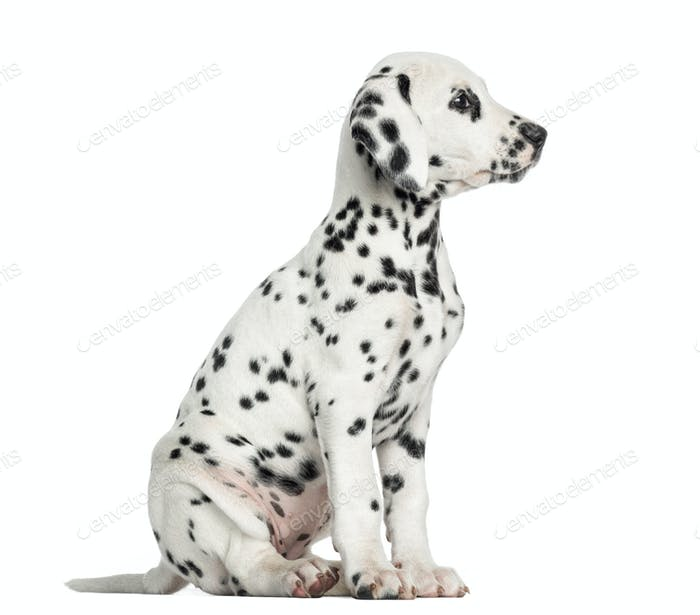 Side view of a Dalmatian puppy sitting, looking away, isolated on white