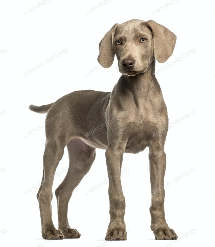 Weimaraner puppy, 2,5 months old, standing, isolated on white