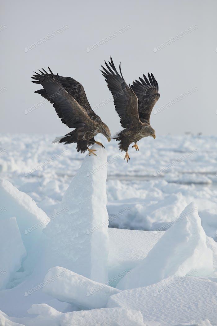 White-Tailed Eagle (Haliaeetus albicilla) on frozen bay in winter.