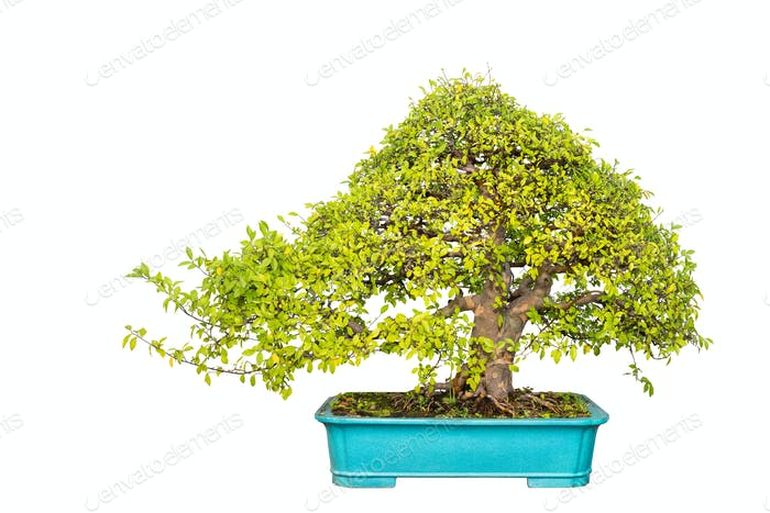 Chinesische Ulme Bonsai Baum