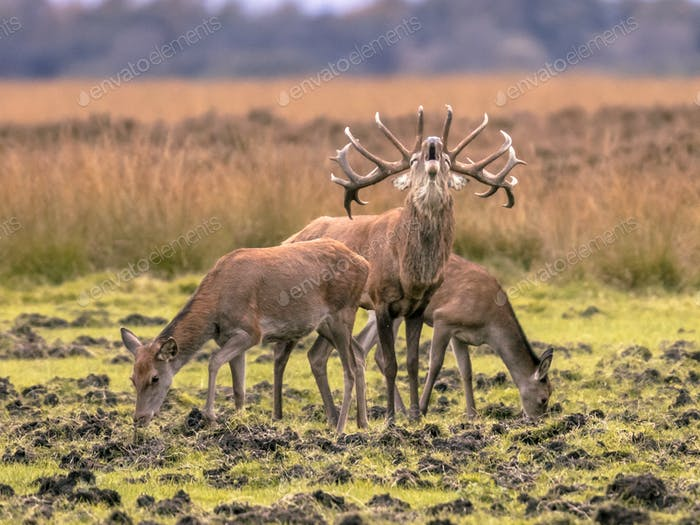 Belling Buck deer guarding hinds