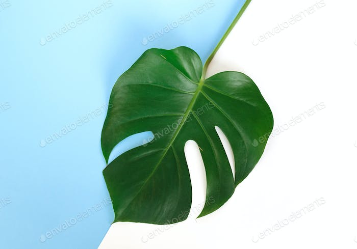 Monstera branch on a blue and white background