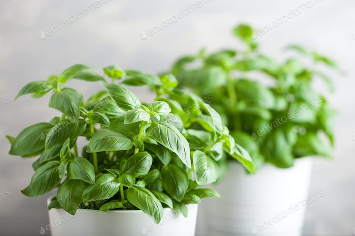 fresh basil herb in pot