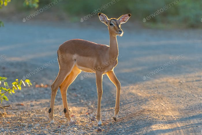 Young impala ewe in first rays of the rising sun