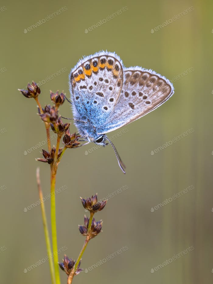 male silver studded blue butterfly preparing for night