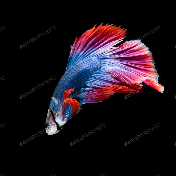 betta fish on black