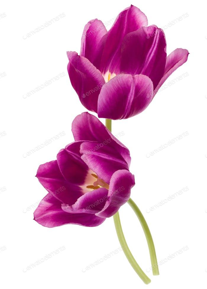 Zwei lila Tulpenblüten isoliert auf weißem Hintergrund Ausschnitt