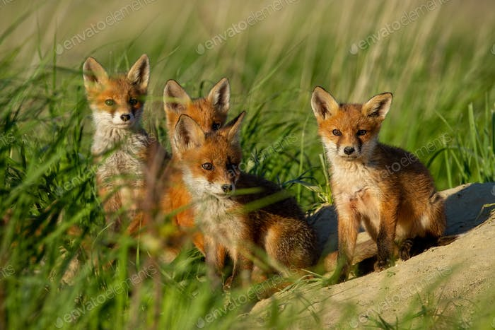 Red fox, vulpes vulpes, family near animal den