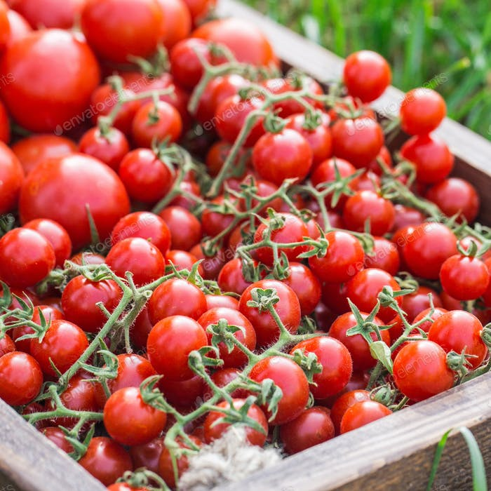 Reife Tomaten auf einem Holztablett. Auf dem Gras