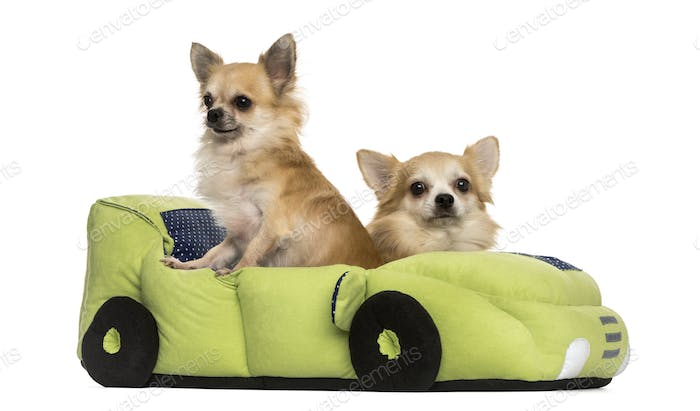Two Chihuahua in a car shaped bed, isolated on white