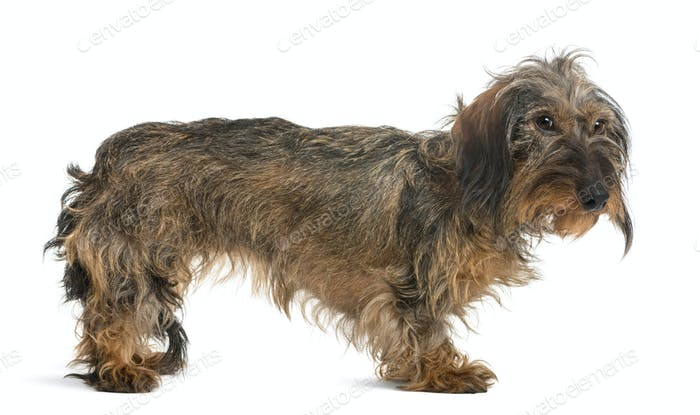 Side view of a Dachshund looking, isolated on white