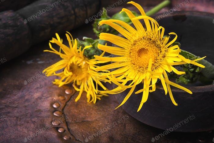 Blumen von medizinischen Alant