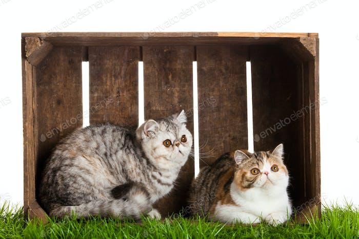 Exotische Kurzhaarkatze. Schöne Katze in einer Box.