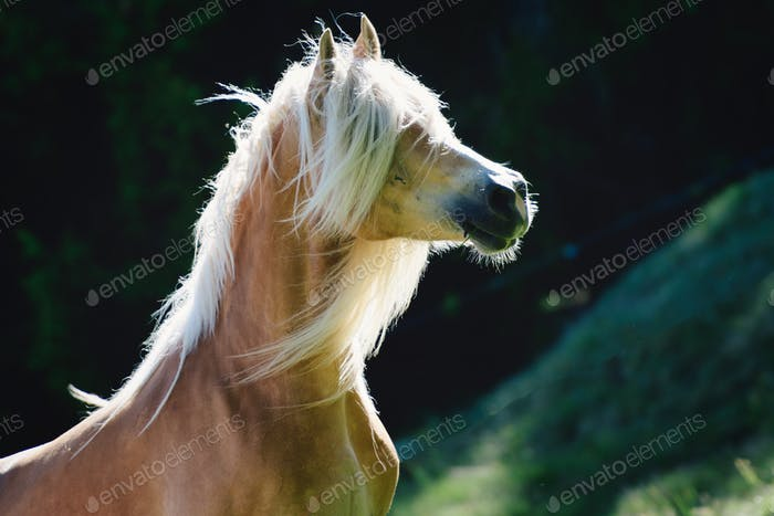 A haflinger horse