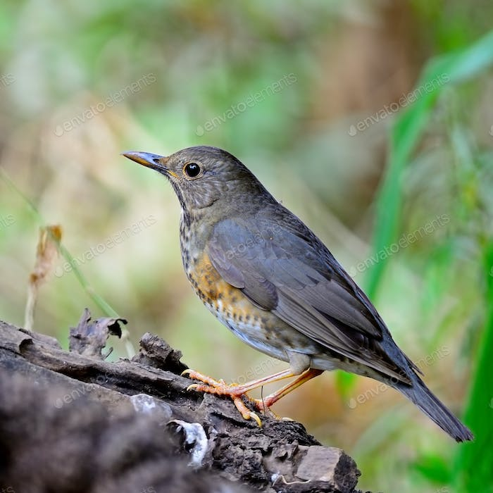 female Japanese Thrush