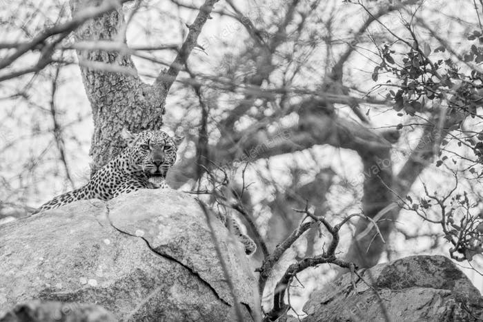 Leopard on the rocks in black and white.