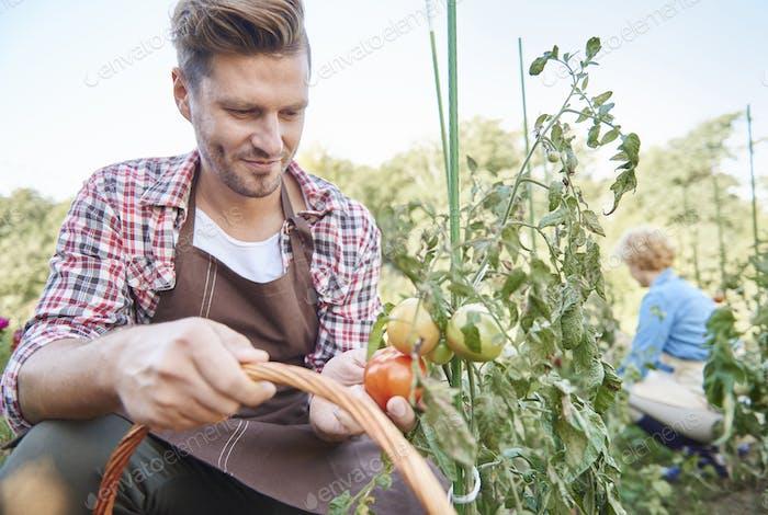 Mann Ernte Bio-Tomaten im Hinterhof