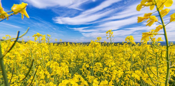 Vibrant Yellow and Blue Flowering Rapeseed Landscape