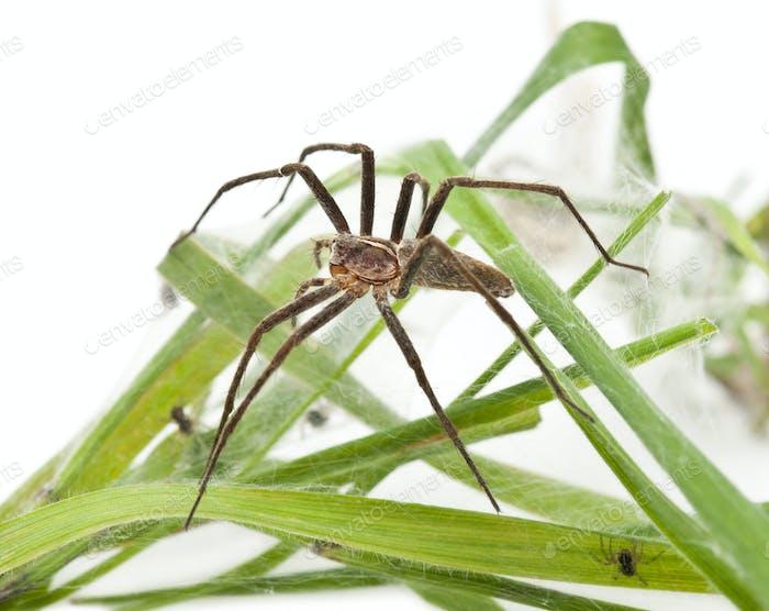 Nursery web spider, Pisaura mirabillis, with spiderling in nest in front of white background