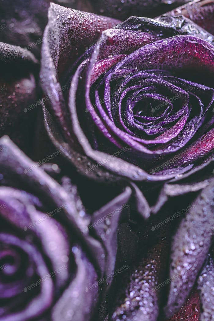 Macro photography of purple roses with raindrops. Fantasy and magic concept. Selective focus.