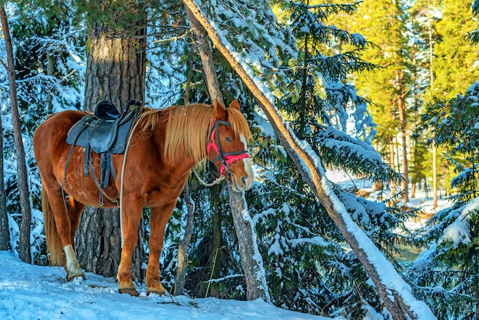 A horse equipped with a saddle in winter