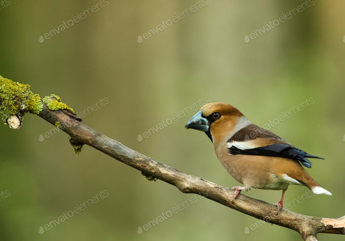 Hawfinch (Coccothraustes coccothraustes) sits on a dry tree branch