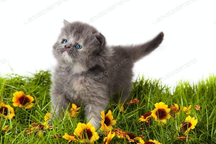kleines Kätzchen auf weißem Hintergrund. Persisches Kätzchen
