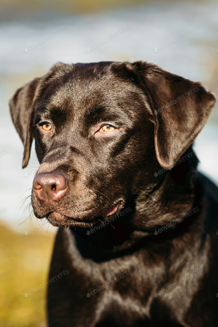 Beautiful Brown Dog Lab Labrador Retriever