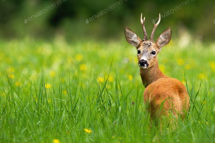 Roe deer buck looking behind on a green meadow with yellow flowers in summer