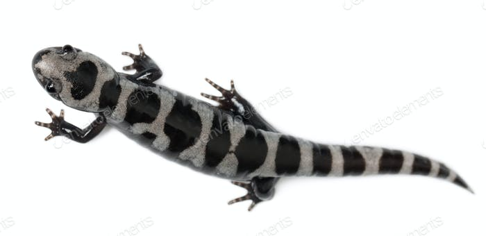 High angle view of Marbled Salamander, Ambystoma opacum, in front of white background