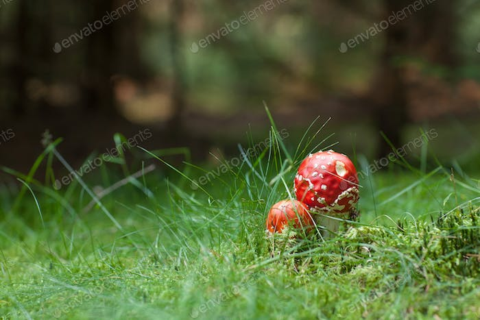 Poisonous Amanita mushrooms
