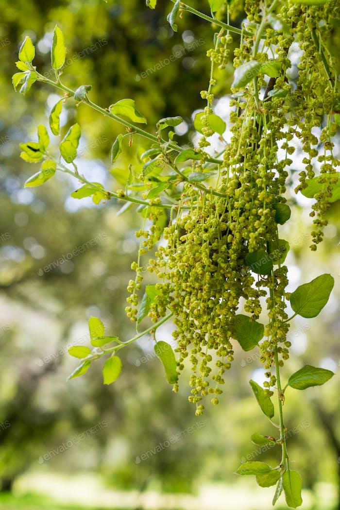 Coast Live Oak leaves and inflorescence (Quercus agrifolia), California