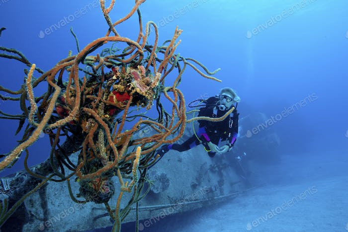 Diver inspects sponges growing on a shipwreck, an artificial reef on the seabed.